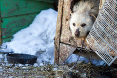 Собака шавки на цепи в зиме Стоковая Фотография
