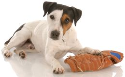 собака шаловливая стоковое фото