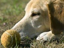 собака шарика его Стоковые Изображения RF