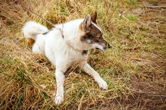 Собака шелухи осипло Собака на предпосылке травы Собака конец-вверх Стоковая Фотография RF