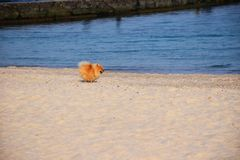Собака шпица Pomeranian маленькая стоковая фотография rf