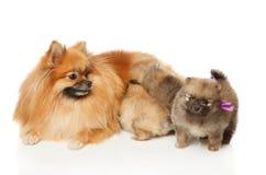 Собака шпица Pomeranian с ее щенятами Стоковая Фотография RF