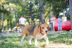 Собака щенка бигля в парке с лапками положения гончей Стоковое Изображение