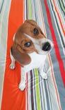 собака щенка бигля интереса милая Стоковое Изображение