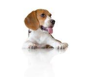 Собака щенка бигля портрета милая Стоковое Фото