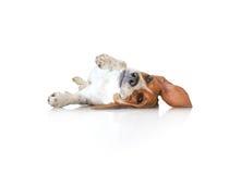 Собака щенка бигля портрета милая Стоковая Фотография RF
