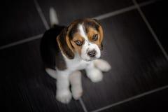 Собака щенка бигля смотря вверх Стоковые Фото