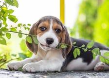 Собака щенка бигля Стоковые Изображения RF