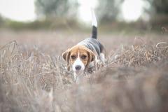 Собака щенка бигля Стоковые Фото