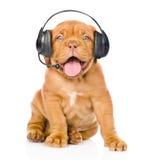Собака щенка Бордо с шлемофоном телефона Изолировано на белизне Стоковое Изображение