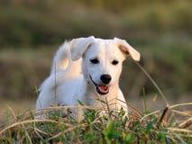 Собака щенка в зеленой траве луга Стоковые Изображения