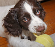 Собака щенка жуя игрушку Стоковое Изображение