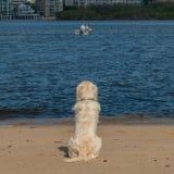 Собака щенка золотого Retriever смотрит вне на рыболовах стоковое фото rf