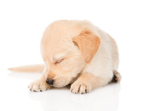 Собака щенка золотого retriever спать На белой предпосылке Стоковые Изображения