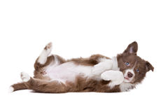 Собака щенка Коллиы границы перед белой предпосылкой Стоковые Изображения RF