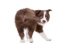 Собака щенка Коллиы границы перед белой предпосылкой Стоковые Изображения