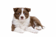 Собака щенка Коллиы границы Стоковые Фотографии RF