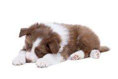 Собака щенка Коллиы границы Стоковое Изображение