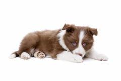 Собака щенка Коллиы границы Стоковые Фото