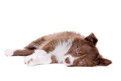 Собака щенка Коллиы границы Стоковое Изображение RF