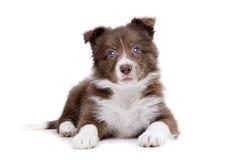 Собака щенка Коллиы границы Стоковые Изображения RF