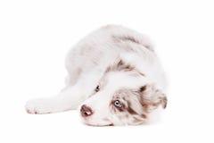 Собака щенка Коллиы границы Стоковая Фотография