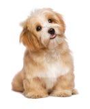 Собака щенка красивого усаживания рыжеватая havanese смотрит вверх