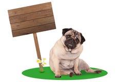 Собака щенка мопса сидя вниз рядом с пустым знаком деревянной доски на изолированном поляке, на белой предпосылке Стоковая Фотография RF