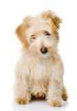 Собака щенка смотря камеру. Стоковое фото RF