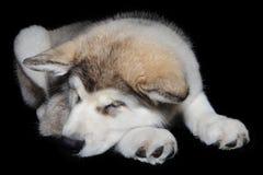 Собака щенка спать стоковое изображение rf