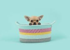 Собака щенка чихуахуа в покрашенной корзине рассматривая край корзины на предпосылке сини бирюзы стоковые фотографии rf