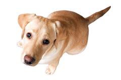 Собака щенка Стоковое Фото