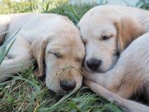 Собака щенка Стоковая Фотография RF