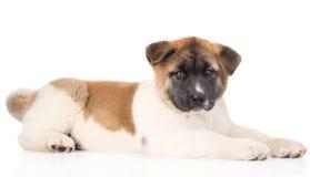 Собака щенка inu akita японца лежа в профиле и смотря кулачок Стоковая Фотография