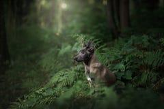 Собака щенка Malinois в природе Стоковая Фотография RF