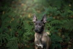 Собака щенка Malinois в природе Стоковое Изображение RF