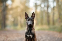 Собака щенка Malinois в природе Стоковое Фото