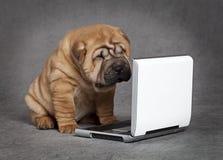 Собака щенка Shar-Pei с DVD-плеер Стоковые Изображения RF