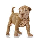 Собака щенка Sharpei Стоковое Фото