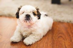 Собака щенка Shi Tzu небольшая стоковое изображение rf