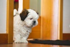 Собака щенка Shi Tzu небольшая стоковые изображения