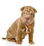 Собака щенка Shrpei смотря камеру. Стоковое Фото