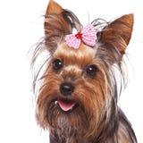 Собака щенка terrier yorkshire стороны младенца Стоковое Фото