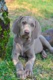 Собака щенка Weimaraner Стоковая Фотография RF