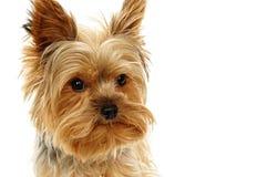 Собака щенка Yorkie Стоковые Изображения RF