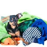 Собака, щенок, терьер игрушки сделала беспорядок из одежд На белой предпосылке Стоковое Фото