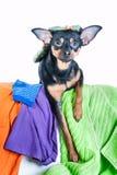 Собака, щенок, терьер игрушки сделала беспорядок из одежд На белой предпосылке Стоковое Изображение