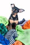 Собака, щенок, терьер игрушки сделала беспорядок из одежд На белой предпосылке Стоковая Фотография RF