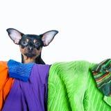 Собака, щенок, терьер игрушки сделала беспорядок из одежд На белой предпосылке Стоковые Изображения RF