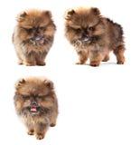 Собака щенят Pomeranian изолировала белую пользу как животные, любимчика, тему зоомагазина Стоковая Фотография RF